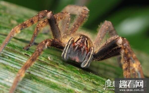 世界上最恐怖的蜘